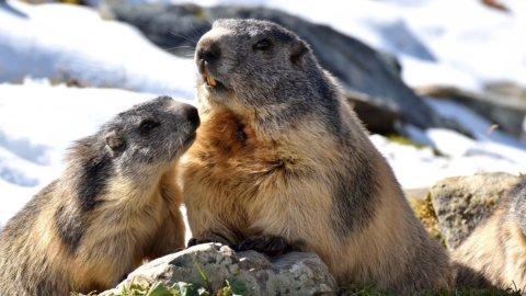 Ambiente, parte a Roma la campagna per le marmotte