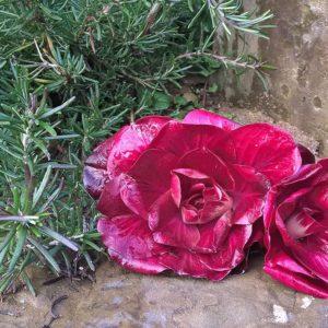 Rosa di Gorizia, il fascino del fiore e il sapore del radicchio gourmet