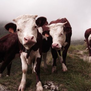 Carni bovine, allarme per quelle che arrivano dalla Polonia
