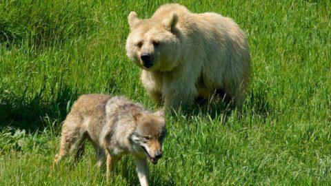 Orsi e lupi, agricoltori e pastori: convivenza possibile