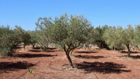 Xylella e maltempo: l'olio extravergine made in Italy crolla del 57%