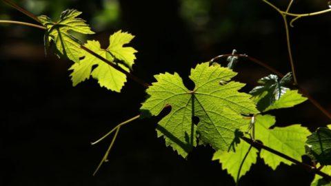 Vino: Monferace, il Grignolino della riscossa da invecchiamento
