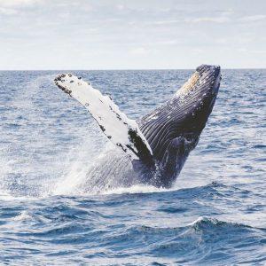 Caccia alle balene: opporsi è sacrosanto o è un pregiudizio culturale? E pescare è etico?