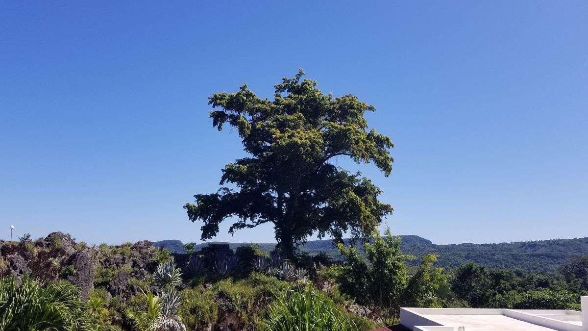 Il grande albero di Sapindus saponaria