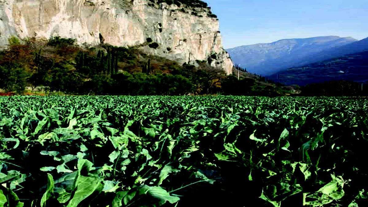 Broccolo di Torbole coltivazione sul Lago di Garda