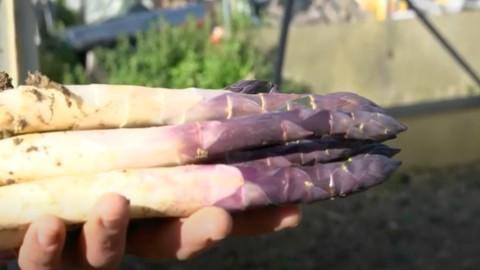 L'asparago violetto di Albenga, un gioiello atteso quattro anni