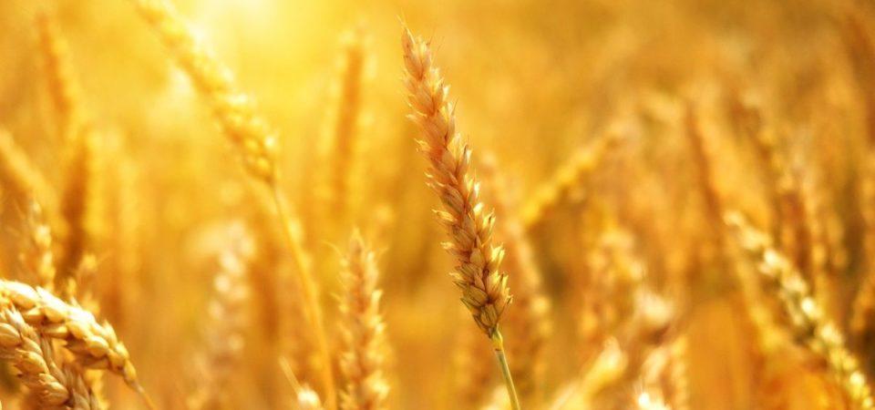Effetto Covid: il grano è più caro del petrolio