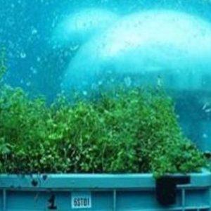 Il basilico coltivato in fondo al mare: a Noli diventa realtà