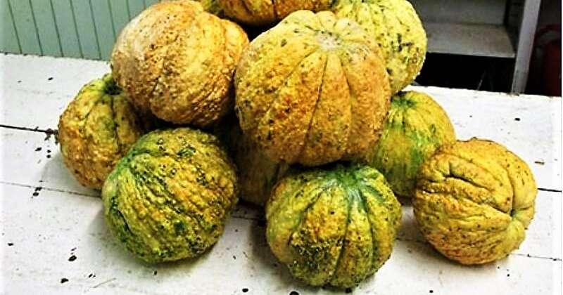 antichi meloni reggiani, il melone rospa presidio slow food