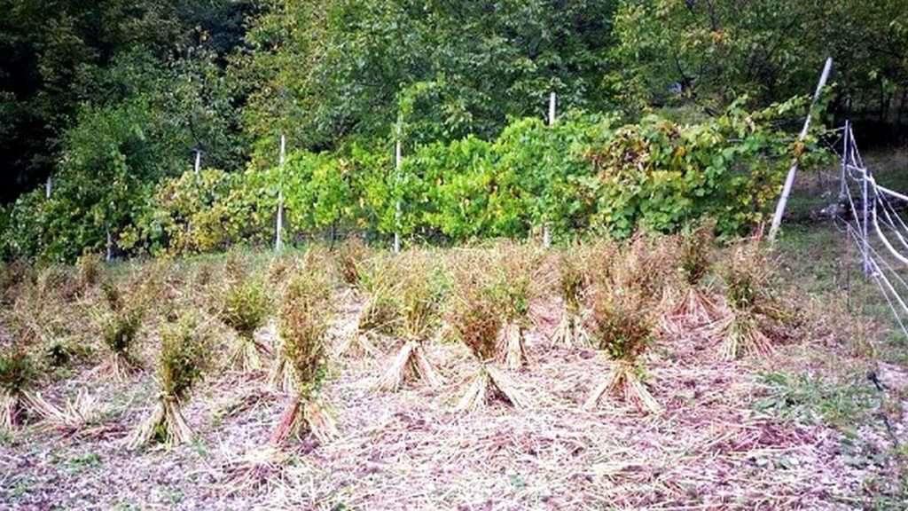 Le 'donete' di grano saraceno di Terragnolo