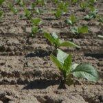 Philip Morris e Coldiretti: accordo sulla filiera agricola del tabacco
