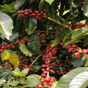 Caffè El Diamante, la nuova frontiera, dal Costarica a Firenze