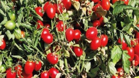 Buttiglieddru, il pomodoro di una volta che rispetta la natura