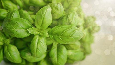 Basilico in acquaponica: un metodo sostenibile e produttivo