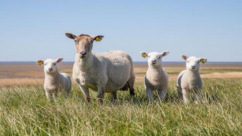 Italiani più sensibili con la pandemia, crollano vendite di agnello a Pasqua