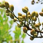 Pistacchio di Bronte DOP: la scommessa dolciaria di Pistì in Sicilia