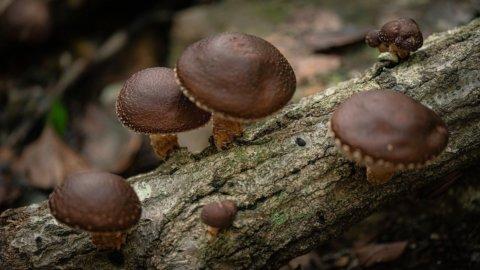 Shiitake,  i saporiti funghi amici della salute e del benessere