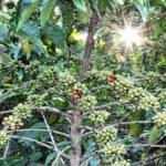 Caffè: Slow Food Coffee Coalition, manifesto di produttori e consumatori