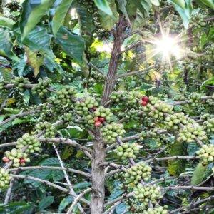 Caffè: Slow Food Coffee Coalition, manifesto per produttori e consumatori
