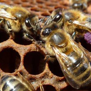 L'ape nera del Ponente ligure, nuovo Presidio Slow Food