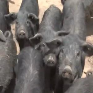 """Suino nero dei Nebrodi: la carne """"salutare"""" della Sicilia"""