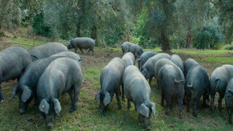 Pelatella, l'antico maiale, dalle carni pregiate, sopravvissuto nel Parco del Cilento