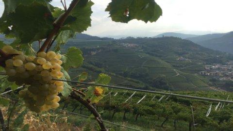 Vino: la Valle di Cembra celebra il suo Muller Thurgau