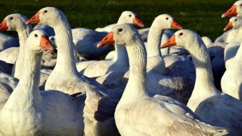 Alimentazione sostenibile: dalla Francia un foie gras prodotto in laboratorio salva oche
