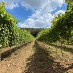 Rivive il Vino dei Borbone, la prima vendemmia del Pallagrello nella Reggia di Caserta