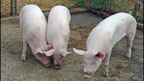 Hog cycle e le riserve di carne di maiale: la paura dell'inflazione e la reazione di Pechino