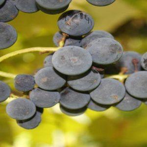 Export vino: 2011 anno record