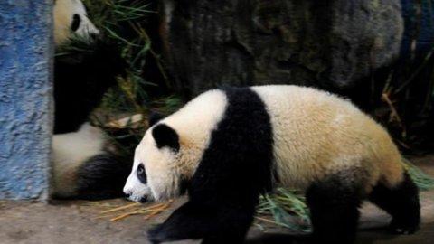 In Cina andrà in prigione chi mangia un panda
