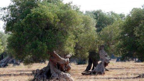 Ue decide di fare sradicare gli ulivi colpiti da Xylella nel Salento