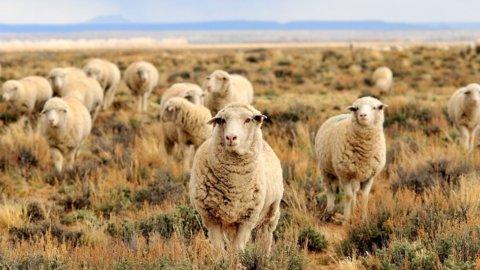 I giovani riscoprono la tradizione: boom di… pecore e pastori