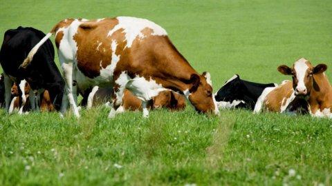 """Allevamenti, a Tortona """"l'archeologo delle mucche"""""""