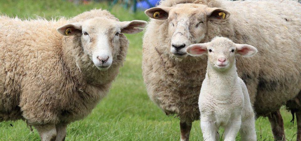 Agricoltura, Sardegna: pastori in crisi e Sos pecore