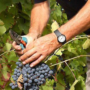 Al via la vendemmia 2017: è la più precoce del secolo e vino sarà ottimo