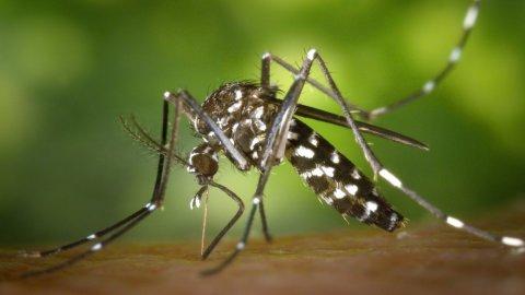 Zanzare infette, allerta ad Anzio